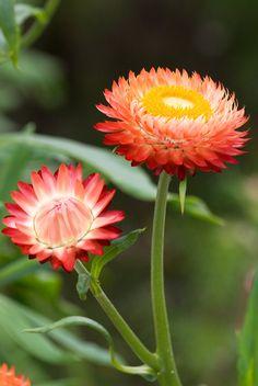 Ditch Short-Lasting Daisies for Everlasting Daisies Cranesbill Geranium, Flax Flowers, Flannel Flower, Paper Daisy, Star Flower, Evening Primrose, Flowers Perennials, Day Lilies, Gerbera