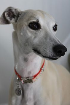 One day I'll get a pale whippet just like this one and call him Boris.