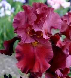 World of Irises: MUMFORD TALL BEARDED IRIS GARDEN - A LOVE AFFAIR
