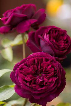 'The Prince'   Shrub. English Rose Collection. Bred by David C. H. Austin (United Kingdom, 1990)   © robertmealing