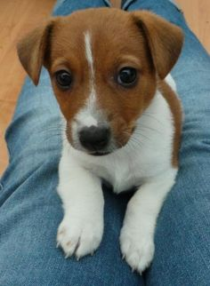 Hunter the Irish Jack Russell-Can't get any cuter than this!!!                                                                                                                                                                                 More