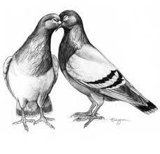 Courting pigeons illustration
