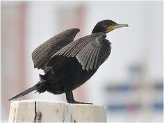 Nederlandse naam: Aalscholver Wetensch. naam: Phalacrocorax carbo