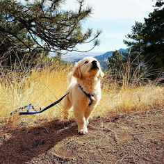 Throwing back to Ash's first hike   Do you remember your pups first hike? We'd love to hear about it below!  BIG SALE !! Check our store now   Click the link on bio  Like and tag your friends  : @ashthegolden