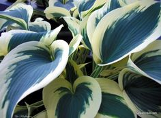 "Hosta 'Blue Ivory"" - Want! Intersperse with green hostas in back! Shade Garden Plants, Hosta Plants, Buy Plants, Shade Perennials, Hosta Varieties, Plant Catalogs, Heuchera, White Gardens, Plantar"
