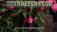 Fuchsie Fuchsia Timelapse Zeitraffer