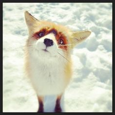 Adorable Fox. Look at that face!! He can have whatever he wants!!!