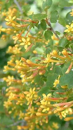 Ribes aureum - GOLDEN CURRANT (Native Plant)
