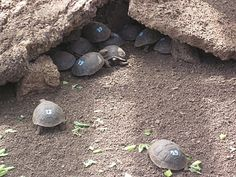 baby giant tortoises being raised for release at the Charles Darwin Research Station