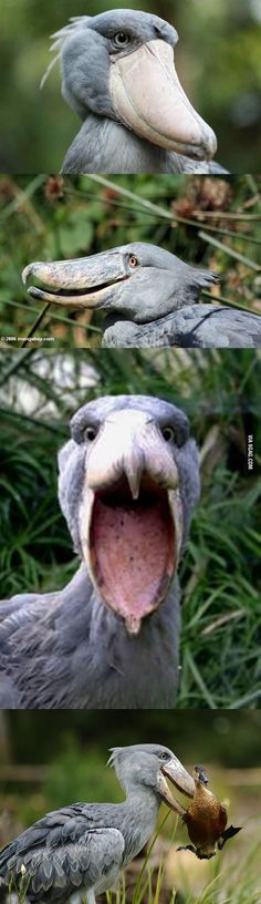 Meet The Shoebill, also known as Whalehead or Shoe-billed Stork