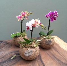 Kokodama Phalaenopsis orchid mini one branch Orchid Flower Arrangements, Orchid Planters, Indoor Orchids, Orchids Garden, Beautiful Flowers Garden, Beautiful Gardens, Mini Orquideas, Orchid Leaves, Decoration Plante