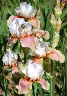 TB Iris Germanica 'Sugar Magnolia'