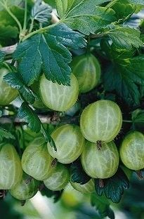 Large pale green fruit from heavily thorned branches. Resistant to mildew and late spring frosts. Buy Plants Online, Green Fruit, Home Garden Plants, Exotic Fruit, Plant Nursery, Natural Forms, Permaculture, Water