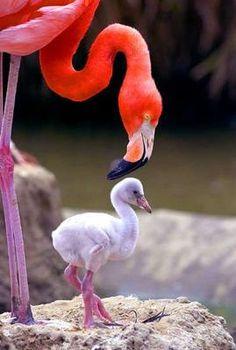 Mama and baby flamingo