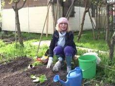Посадка огурцов в открытый грунт на огороде - YouTube