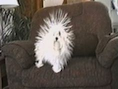 After being rubbed with a blanket, this cute little dog's hair stands straight up.
