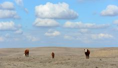 US faces worst droughts in years, predict scientists: Climate change is likely to cause decade-long mega-droughts across US south-west and Great Plains, new study shows PLANET X EARTH CHANGES Hereford Cattle, California Drought, Natural Ecosystem, Lake Mead, Environmental Studies, Thing 1, Central Valley, Grass Fed Beef, Growing Tree