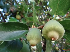 Creeping or Climbing Fig (Ficus pumila) is a species of flowering plant native to East Asia Ficus Pumila, Tropical Fruits, Fruit Trees, Climbing, Planting Flowers, Pear, Diys, Spices, Asia