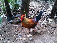 Ceylon Jungle Fowl