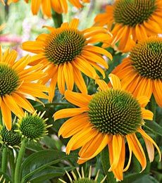 Amber mist cone flower..we had some of these and they died..have got to get some more....one of my hubby's favorite flowers...