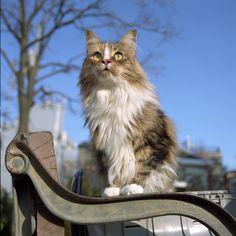 Норвежская лесная кошка (фото): доброта, облаченная в нордический характер  Смотри больше http://kot-pes.com/norvezhskaya-lesnaya-koshka-foto-dobrota-oblachennaya-v-nordicheskij-xarakter/