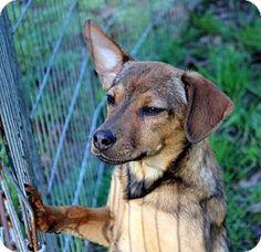 Yardley, PA - Wheaten Terrier/Feist Mix. Meet Sarina, a puppy for adoption. http://www.adoptapet.com/pet/12908383-yardley-pennsylvania-wheaten-terrier-mix