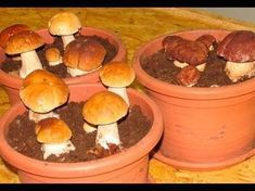 Most people who go in for mushroom growing just go out and buy both the spores (or spawn) and the growth medium. They do this because this is the easiest way to grow mushrooms. But if you are thinking of growing mushrooms commercially Porcini Mushrooms, Stuffed Mushrooms, Container Gardening, Gardening Tips, Culture Champignon, Household Plants, Growing Mushrooms, Aquaponics, Permaculture