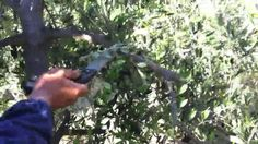 Franco from Tuscany shows how to prune olive trees for light, air and healthy growth.