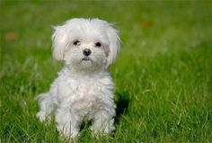 One of the top ten dog breeds that don't shed. Maltese-puppy