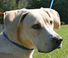 Bo is an adoptable Yellow Labrador Retriever Dog in Chipley, FL. Bo is a 1 year old male pale yellow lab cross, about 50 to 55 pounds. He is a handsome young man with good manners and very loving. Wha...