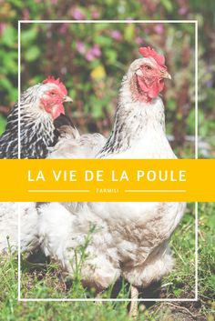 Conduit, 1 An, Satisfaction, Rooster, Chicken Ideas, Animals, Gardens, Fresh Egg, Farm Animals