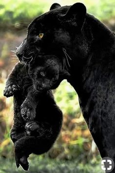 Beautiful black panther mom and cub