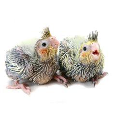 Baby cockatiels!