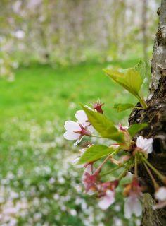 Hanami ! Cerisiers en fleurs