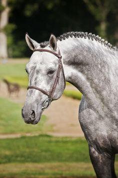 LEVISTAN-a gorgeous Holsteiner-Hanoverian (levisto x argentan)