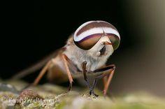 Macro Photography: Insect Macro: Horse Fly macro.randyperalta.com