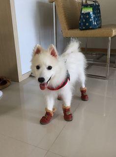 Meet Japanese Spitz Audiebaby, Dog of Doris: Japanese Spitz, Dory, Singapore, Husky, Meet, Animals, Animales, Animaux, Animal