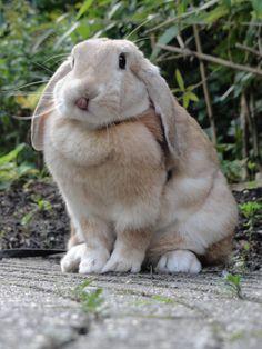 Rabbits with big ears are soooo cute