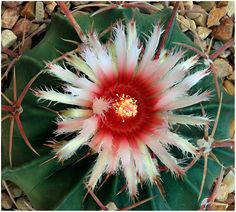https://flic.kr/s/aHsjzdEaQ9 | North American Cacti I | Cacti from the United States and Mexico