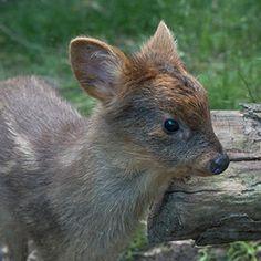 Teeny-tiny deer born at NYC zoo has huge levels of mega-cuteness
