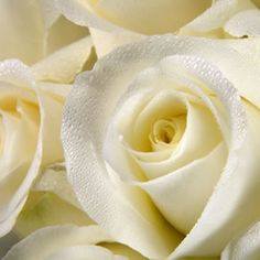Save money on your wedding by buying wholesale Roses. Our flowers arrive from the flower farm to your door so they are fresh & you save money Ivory Roses, White Roses, Wedding Bands, Wedding Venues, Wedding Ideas, Affordable Wedding Flowers, Wholesale Roses, Flower Farm, Event Decor