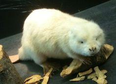 bobr albín