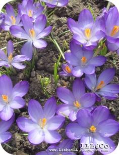 Purple Crocus (Denmark/Spring 2013)