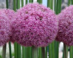 Ornamental Allium - Twinkling Stars