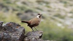 Turca, Guia de Aves de Chile