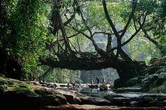 De War-Khasis stam van Meghalaya ontdekte dat ze veilig de rivieren konden oversteken door gebruik te maken van de wortels van deze bomen en op deze manier duurzame bruggen te creëren. Het kost alleen wel gemiddeld 10-15 jaar om zo'n brug te bouwen. Als ze er echter eenmaal staan dan kan de brug meer dan 500 jaar zijn doel dienen.