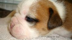 Beautiful AKC English Bulldog Puppy