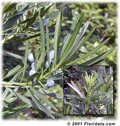 The foliage of Podocarpus macrophyllus var. 'Maki'