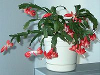 Plowing Through Life: Christmas Cactus  Need it.  Want it.  Must have it.  :)   the Christmas cactus is a native of humid jungles – a far cry from the Sahara-style wastelands – and would derive more pleasure from the droplets of a shower than the scorching rays of the sun.  Unfortunately, ever year these plants die (or are discarded) unnecessarily because of the lack of knowledge or misinformation about their care. Here's how to take care of it...