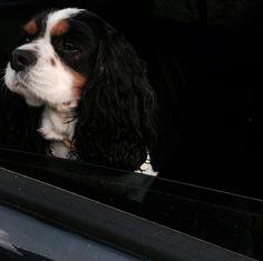 #cavalier #cavlife #dog #love ♥️ #boy #moments ⭐️🙌🏻